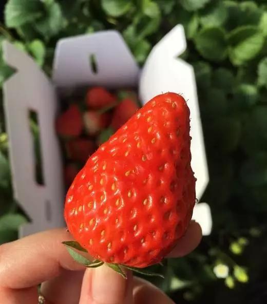 """《北京2020草莓采摘攻略》出炉!趁着4月春光明媚!""""摘它!""""[墙根网]"""