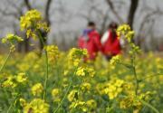 北京海淀百亩油菜花开播,4月20日前后将花开成海