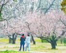 天坛公园北门杏花盛放 层层叠叠如同云霞