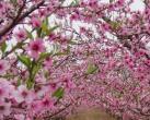 除了闻名天下的蜜桃,这里的百年梨园的花也都开好啦
