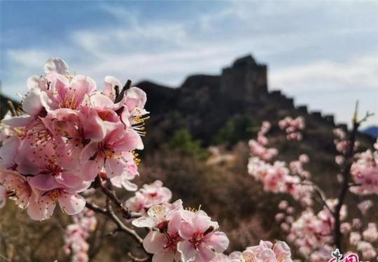 四月,2020第八届金山岭长城杏花节开启云赏花