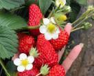 【大兴采摘】京香园农场采摘!85元限时抢购 红颜草莓大果 3斤,包含亲子游玩采摘门票2大1小!!