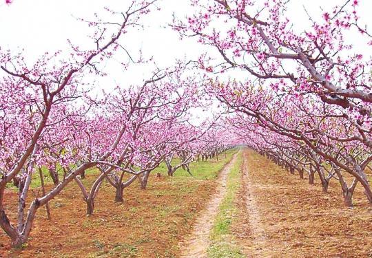 2020深州桃花最佳观赏期为4月4日到10日