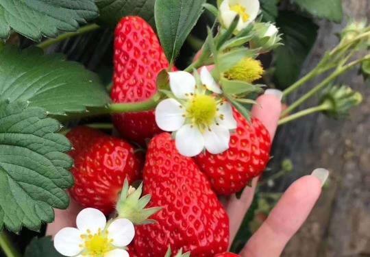 【大興采摘】京香園農場采摘!85元限時搶購 紅顏草莓大果 3斤,包含親子游玩采摘門票2大1?。?!