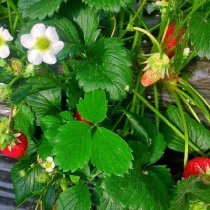 【昌平北七家草莓采摘】绿源草莓-88元/3斤,二大一小或两大两小,至少提前一天预约