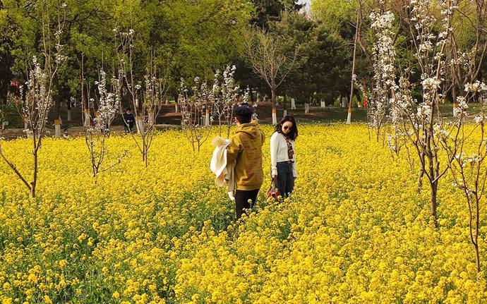 北京东五环这几十亩油菜花绽放 人少景美还免费[墙根网]