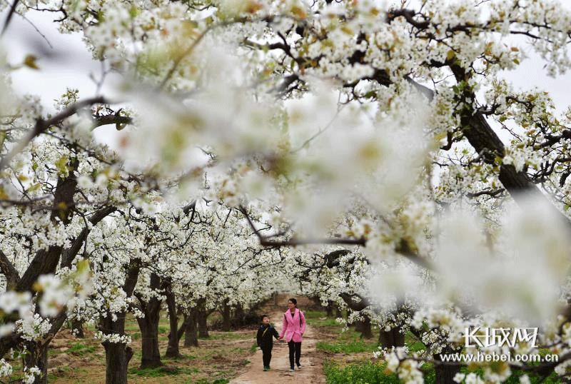 """收藏!河北推出48条""""春观花""""系列休闲农业与乡村旅游线路[墙根网]"""