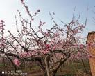 2020平谷桃花季即将进入最佳赏花期