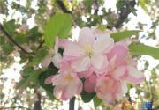 人间最美四月天 元大都公园海棠进入盛开期