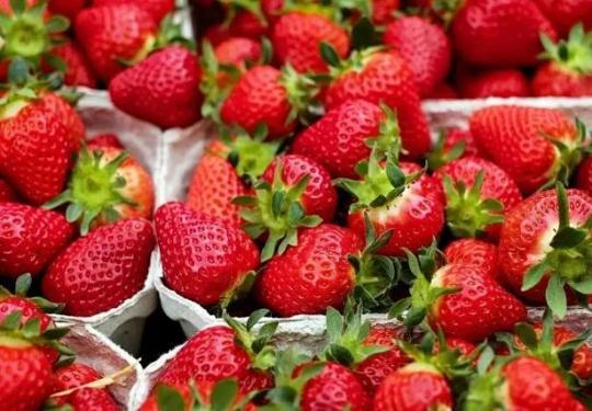 【昌平草莓蔬菜采摘】新特温室采摘园-69元/3斤/自采草莓,45元/5斤/有机蔬菜,二大一小或两大两小,至少提前一天预约
