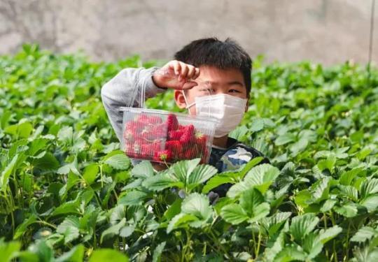 【大兴蔬菜草莓采摘】北京大兴青云店镇绿色绿采摘园 49.9元抢购(5斤蔬菜)单人采摘券 ,58元抢购(2斤草莓+2斤蔬菜)单人采摘券(可带一名1.2m儿童)