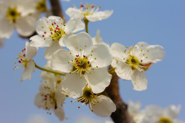 北京名气最大的梨花村,今年梨花节取消,并不影响赏花[墙根网]