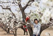 北京名气最大的梨花村,今年梨花节取消,并不影响赏花