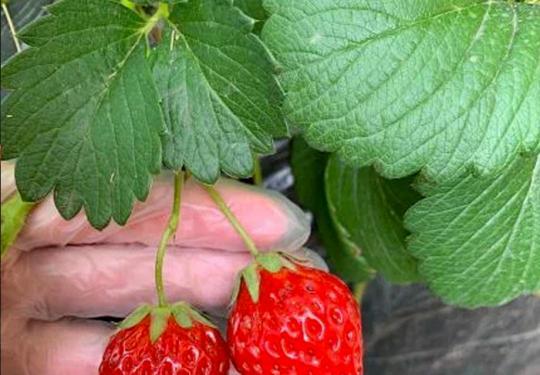 【昌平小汤山草莓采摘】78元抢购!新农人草莓采摘园,草莓采摘3斤,适量品尝~