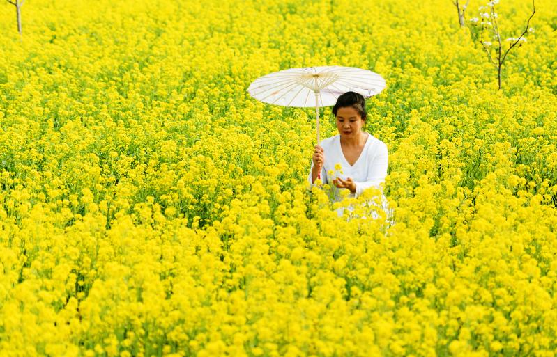 大兴区瀛海镇500多亩油菜花已经悄然盛放!坐地铁就能去