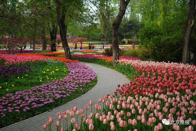 绝美!北京植物园40万株郁金香进入最佳观赏期[墙根网]
