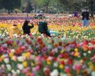 北京国际鲜花港恢复开园 郁金香进入盛花期