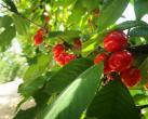 五一假期就剩两天!京郊采摘樱桃该安排上了