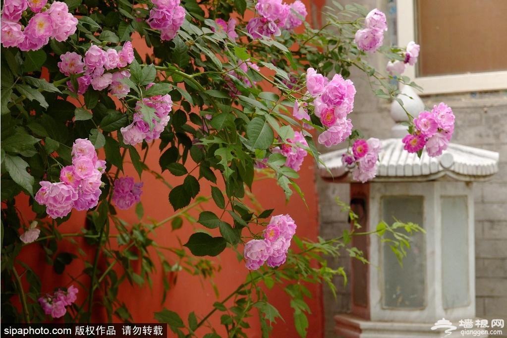 海淀这里的蔷薇花盛开!小众又富有诗意,是你想要的初夏feel![墙根网]