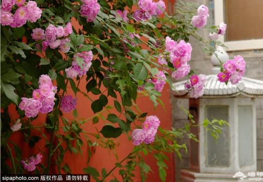 海淀这里的蔷薇花盛开!小众又富有诗意,是你想要的初夏feel!