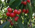 海淀山后的樱桃熟了!这些采摘园可以预定采摘