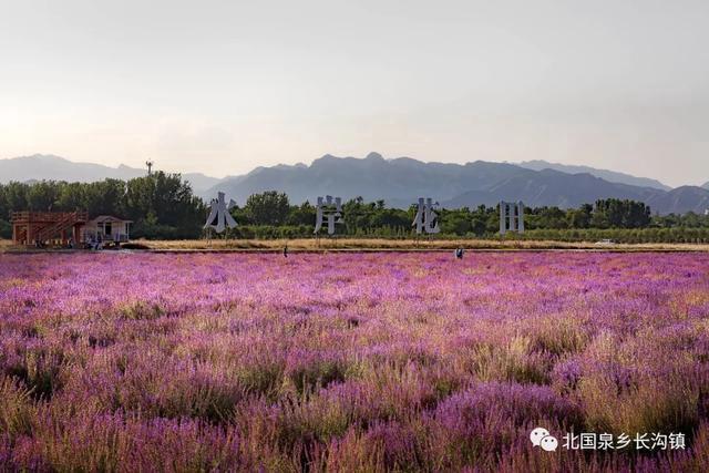 房山这片花田进入最佳观赏期!紫色梦幻世界等你来![墙根网]