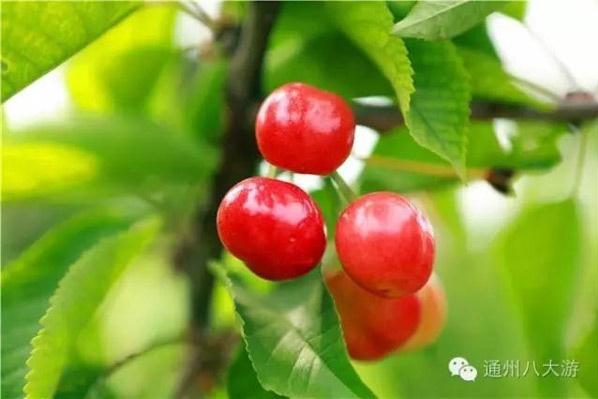 通州樱桃又大又甜,开启今年的樱桃采摘之旅吧[墙根网]