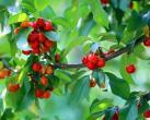 通州樱桃又大又甜,开启今年的樱桃采摘之旅吧