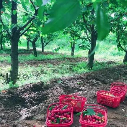 【怀柔区】百亩采摘基地-98元/两斤现场采摘樱桃,提前2小时预约