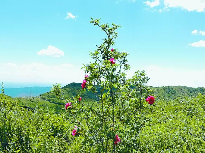 """到妙峰山踏雪寻""""玫"""":种植历史千年,金顶高山玫瑰可赏可食[墙根网]"""