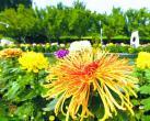 赏花观景!北京市第十二届菊花文化节开幕,40万株菊花亮相