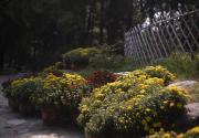 2020北京菊花文化节北京植物园展区攻略(时间+门票)