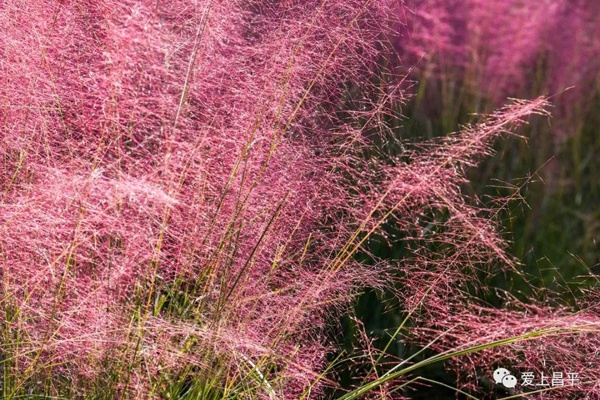 紫苑、粉黛盛开啦!昌平这里藏着粉红色的秋天,仙气十足[墙根网]