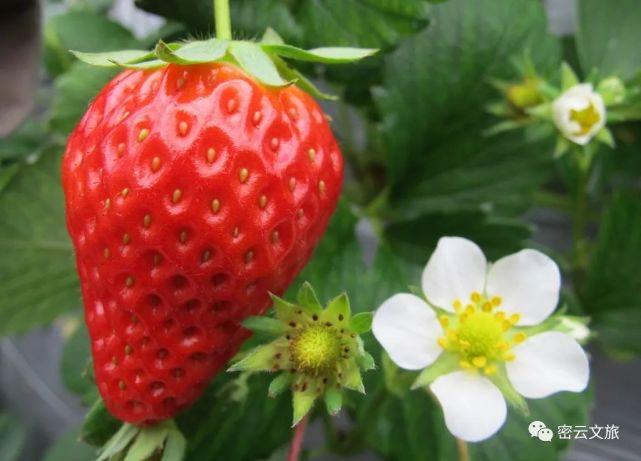 密云冬季休闲采摘,草莓、樱桃、西红柿等多种果蔬,可以承包一年的甜蜜味道[墙根网]