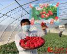平谷区山东庄镇600亩草莓进入采摘季 将持续至6月初