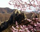 2021年第二届北京长城梅花节 将于2月4日盛大开幕