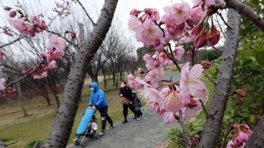 年还没过完,上海顾村公园的早樱已经开了……