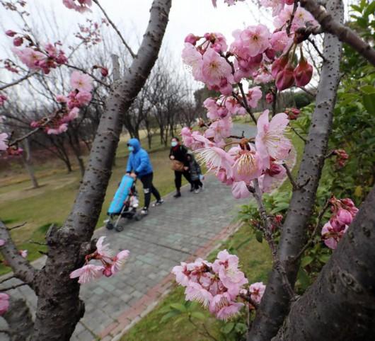 年还没过完,上海顾村公园的早樱已经开了……[墙根网]