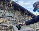 颐和园乐农轩景区初春蜡梅花盛开,吸引游客探访早春