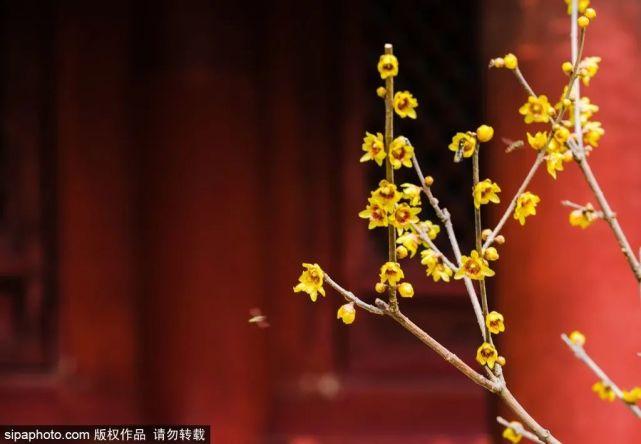 北京植物园卧佛寺蜡梅绽放!百株梅树花期可至3月中旬[墙根网]