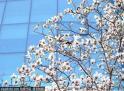 快看!京城第一株玉兰花开,春风十里纸鸢飞的日子还会远吗? 