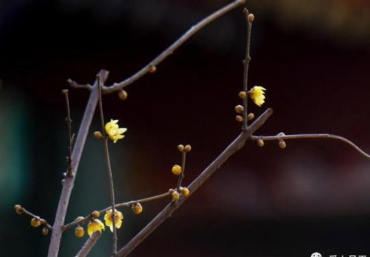 """春天来了,昌平公园腊梅已""""暗香浮动"""""""