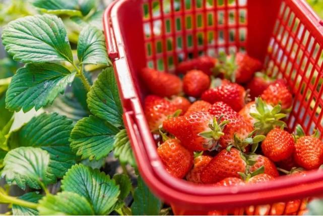 """海淀京西草莓园""""莓""""好时光约么?[墙根网]"""