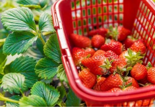 """海淀京西草莓园""""莓""""好时光约么?"""
