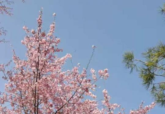 2021玉渊潭樱花节 早樱次第开放