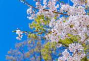 第二屆北京藍調莊園櫻花花海旅游季活動攻略(時間+門票)
