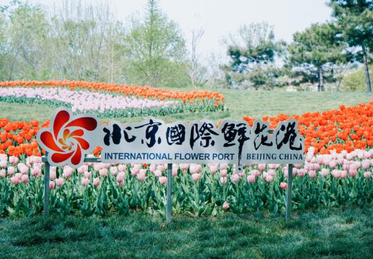 花开好时节,郁金香满园,第十二届北京郁金香文化节开幕在即
