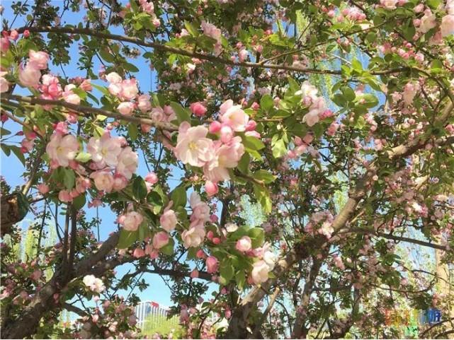 美爆啦!这里的海棠花开正艳!错过再等一年~[墙根网]