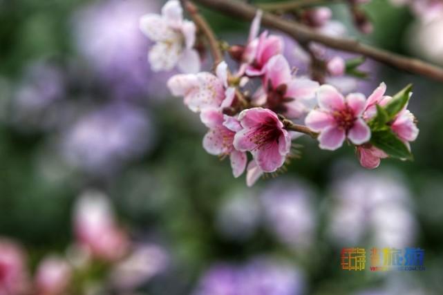 2021北京平谷第二十三届桃花节4月4日开幕:花海徜徉 乐享休闲[墙根网]