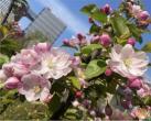 美爆啦!這里的海棠花開正艷!錯過再等一年~